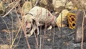 In Sardinia, a shepherd dog does not run away in front of a flame to protect the herd that is saved by a veterinarian