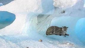 The Surprise in Patagonia: There are cougars on the edge of an iceberg