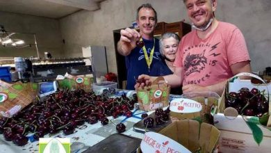 Photo of The world's largest cherry (33 grams) is Italian and comes from Pecetto- Corriere.it