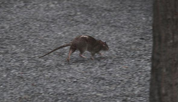 Rat infestation in the UK