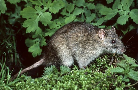 Hot, rainy weather creates a perfect storm for mice