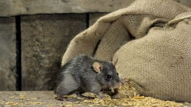 Photo of UK rat outbreak warning: Pest control blames 'perfect storm' for record numbers in homes |  United kingdom