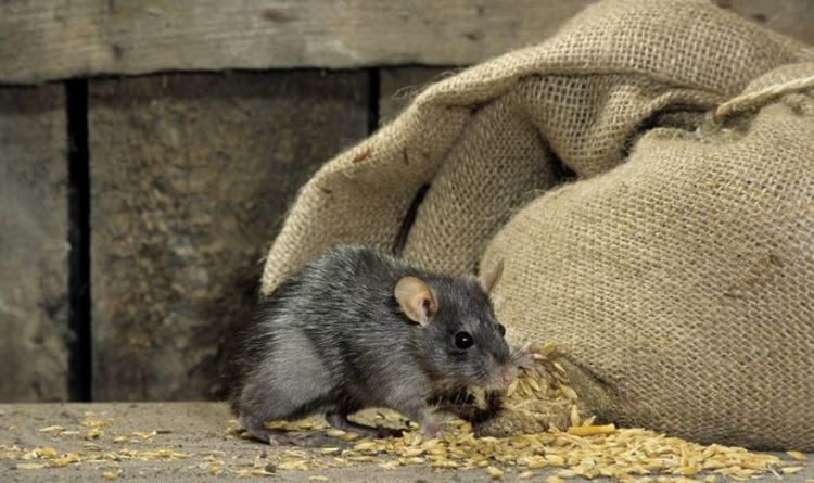 UK rat outbreak warning: Pest control blames 'perfect storm' for record numbers in homes |  United kingdom