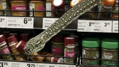 Photo of Australia, a three-meter snake emerges from a spice rack in a Sydney supermarket