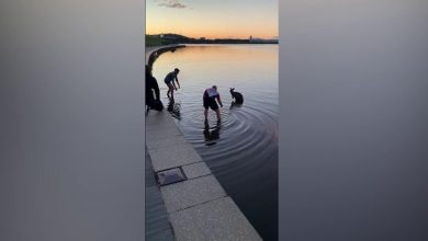 Photo of Australia, a kangaroo falls into a lake: two passersby jump into the icy water and save it