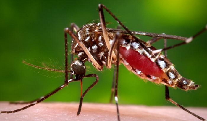Australia, a bacteria that kills mosquitoes that cause diseases and fever