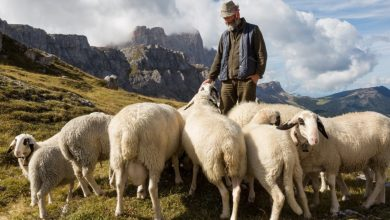 Photo of France, a drone kills sheep and the shepherd destroys them: on trial